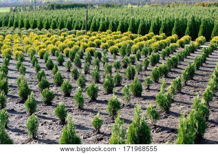 Nursery for Goldstrike Cedar. Natural green conifer thuja planting garden outdoor. Holmstrup.