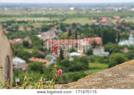 Blooming flower on the hill. Panorama of Mukachevo Ukraine