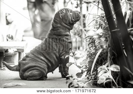 Shar Pei dog breed black and white