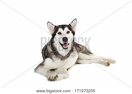 Alaskan Malamute sitting in front of white background. Dog lying on the floor and looking at the camera