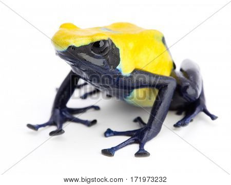 Yellow blue poison dart frog, Dendrobates tinctorius citronella. A poisonous animal from the tropical Amazon rain forest.