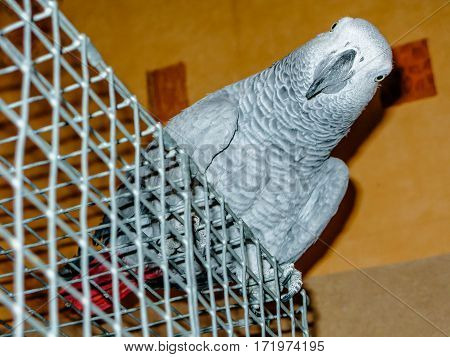 African Grey Parrot Red Tails Jaco On Cage Closeup