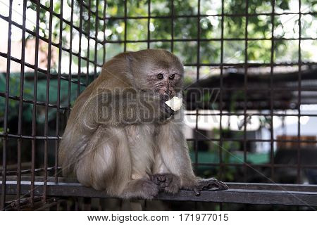 rhesus macaque eating banana monkey eat fruit