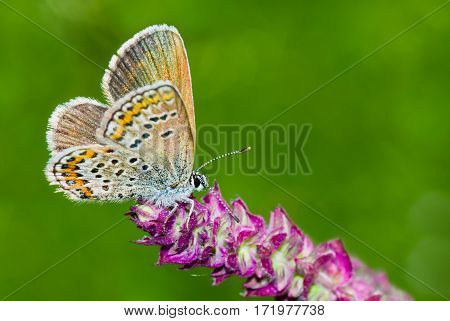 Common Blue (Polyommatus icarus) butterfly on a wild flower against dark green background.