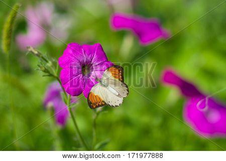 Beautiful pastel photo of petunia flower(shallow dof).