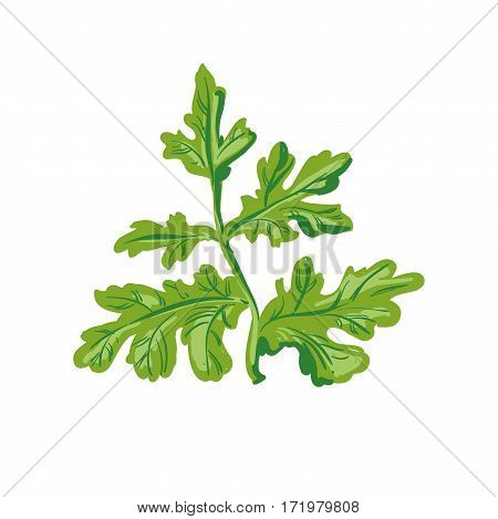 Parsley isolated on white. Annual herb in the celery family. Healthy food natural organic plant. Evergreen herb with culinary and medicinal uses. Fresh green dill realistic vector illustration.
