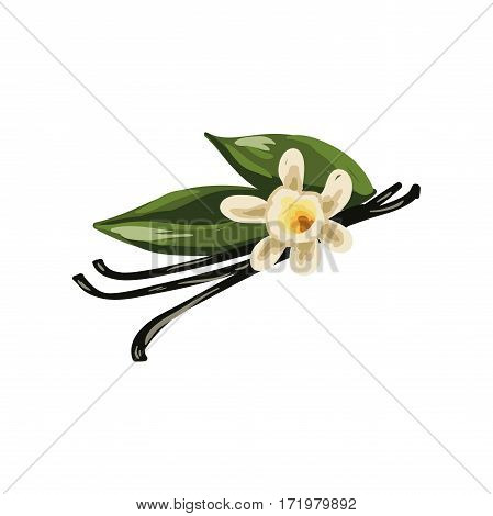 Vanilla pods, orchid flower and green leaves isolated on white background. Flat-leaved vanilla flavoring sticks realistic vector illustration. Used in culinary and medicinal. Herbs and spices