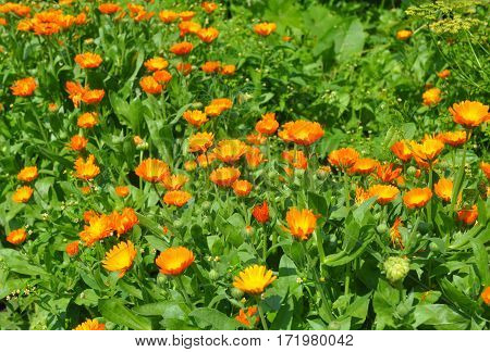 Summer background with growing flowers calendula. Calendula officinalis or Pot Marigold Common Marigold Scotch Marigold Ruddles Pot Marigold.