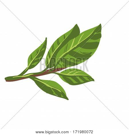 Bay leaves isolated on white background. Fresh laurel bay leaves on branch. Healthy food natural organic plant. Seasoning ingredients for cooking. Green herb spice realistic vector illustration