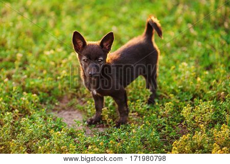 Little black puppy stands on green meadow. Whelp with upright ears, black nose, white stripe on chest and small curly tail. Very devoted glance. Sorrowful dreary little pet