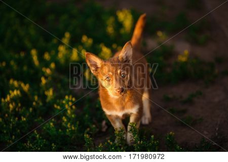Brown playful puppy walking on green meadow with yellow flowers. Dog cub with white stripe on chest. Devoted eyes, smart look, best friend