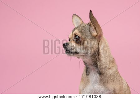 Chihuahua portrait looking to the left at a pink background