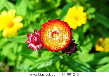 Helichrysum bracteatum flower. Helichrysum or Strawflower in the garden.