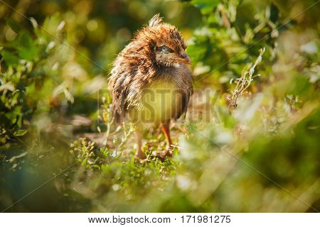 Chicken with ill eyes. Feathered bird with sad look, small dying hen. Futhered domestic chicken in green grass