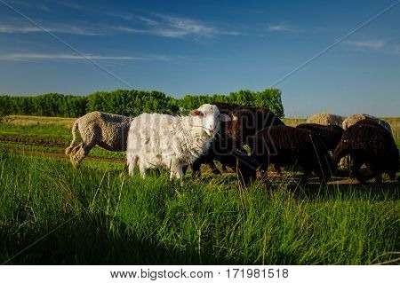 White, black and beige sheep eating grass on pasture. Coat on mutton is slightly curled. Domestic animals on sheepfold. Young lamps on farm