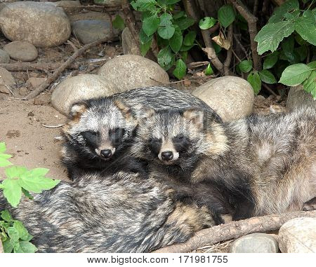 The family of raccoon dogs has a rest