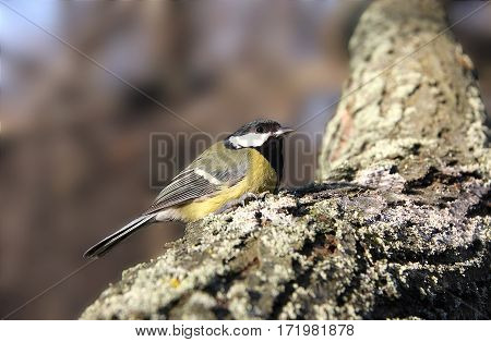 The titmouse sits on a tree trunk