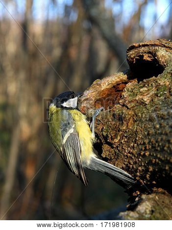Titmouse on a tree with a hollow