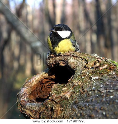 The titmouse sits on a tree with a hollow