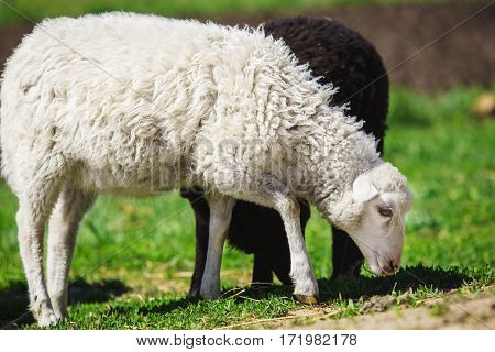 White and black sheep eating grass. Coat on mutton is slightly curled. Domestic animals on sheepfold. Young lamps on farm