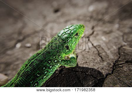 Salamander motionless stopped. Reptile close up portrait. Head, part of torso of green iguana on dry cracked earth. Lizard on stones close up focused image