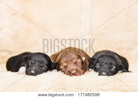 Three small few days puppies lying on white soft furry coverlet. Black and brown dog babies. Newborn little puppies in boarding home for dogs on cover