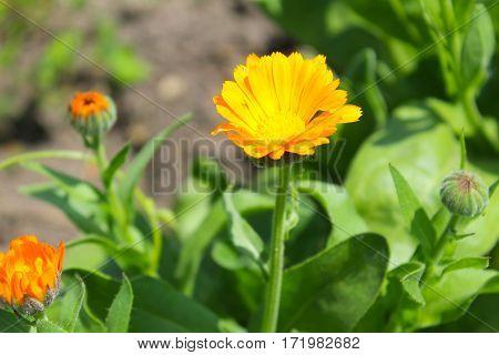 Orange calendula flowers growing in the garden
