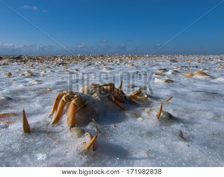 Overturned Crab the frozen on the beach in winter.