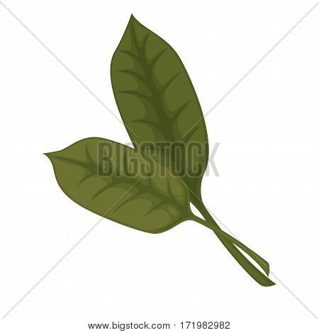 Common sorrel or garden sorrel leaves isolated on white background. Spinach narrow-leaved dock. Cultivated as a garden herb or leaf vegetable pot herb. Herbs and spices realistic vector illustration