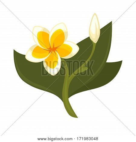 Tropical tree plumeria with flower, bud and green leaves isolated on white. Branch of frangipani plumeria deciduous shrubs or small trees. Pot plant realistic vector illustration in flat style