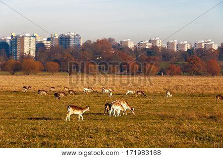 Herd of fallow deer in Richmond Park, London