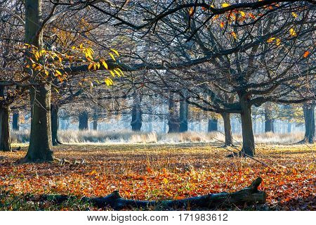 Winter leafless woods in Richmond Park, London