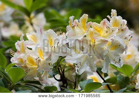 Beautiful tropical rhododendron flowers. Nice blooming plants in botanical garden. Various petal colors  of laurel
