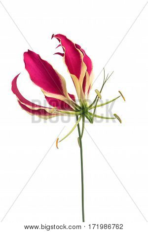 One single blooming gloriosa glory lily flower isolated at a white background