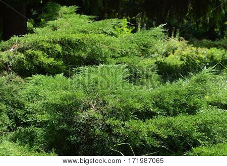 Green juniper bush in lanscape garden design.