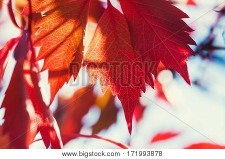 Red Autumn Leaves.