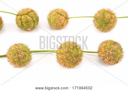 Plane-tree seed balls isolated on a white
