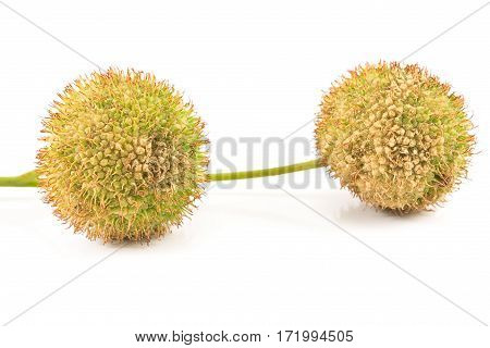 Two plane-tree seed balls isolated on white