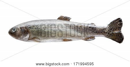 Fresh river trout isolate on a white background