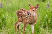 White-Tailed Deer Fawn (Odocoileus virginianus) Stands in Grasses - captive animal poster