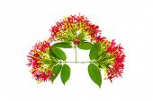 Colorful flower Drunen sailor Rangoon creeperQuisqualis Indica flower plant Chinese honeysuckle Rangoon Creeper Combretum indicum on white background.Saved with clipping path poster