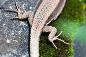 gecko legs and tail poster