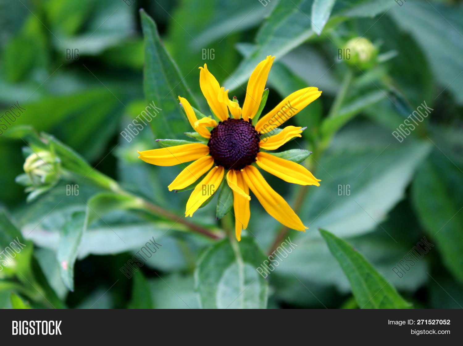 Black Eyed Susan Image Photo Free Trial Bigstock The most common brown yellow daisy material is glass. bigstock