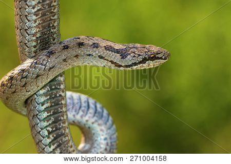Non Venomous Smooth Snake, Coronella Austriaca On Green Background