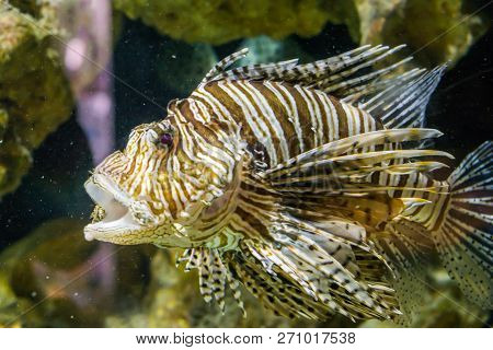 Closeup Of A Lion Fish With Open Mouth In The Aquarium, A Venomous Tropical Fish From The Pacific Oc