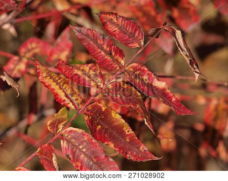 These Red Leaves Were Not A Purple But They Were A Deep And Rich In Red Pigment As They Can Get Befo