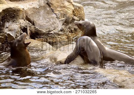 Three Sea Lions Latin Name Zalophus Californianus