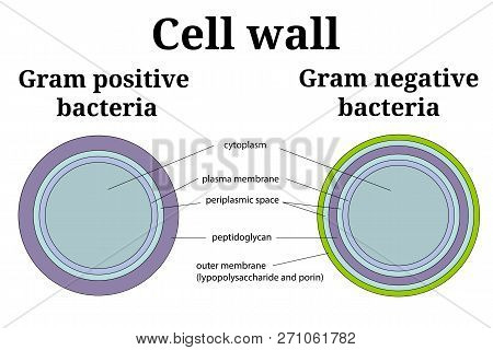 Bacteria Cell Wall  Illustration. Gram Positive And Gram Negative Cell Wall Differents.  Isolated On