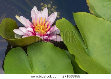 Pink Water Lily On A Pond.pink  Lily On A Pond.