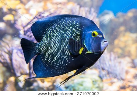 King Angelfish Holacanthus Passer , Also Known As The Passer Angelfish.